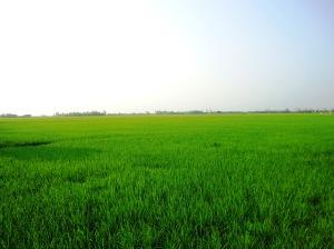 Ruông lúa Trường Khánh Đại Ngãi Long Phú Sóc Trăng dưới ánh trăng rằm tháng Giêng lúc 7g30 mà lồng lộng xanh mướt lạ thường (ảnh Hoàng Kim)